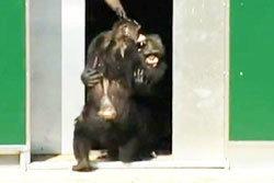 ซึ้ง! ชิมแปนซีกอดกัน เป็นอิสระ  หลังอยู่ในห้องวิจัย 30 ปี