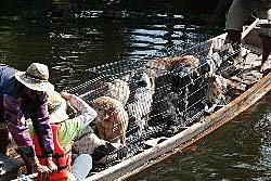 สลด! เศรษฐีทิ้งหมาแมวราคาแพงจมน้ำตาย