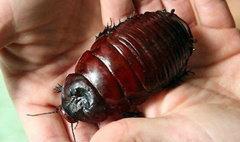 ตะลึง! แมลงสาบยักษ์ยาว 7ซม.