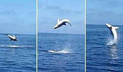 ฉลามตีลังกากลับหลัง 9 รอบ ดีใจรอดจากนักล่า