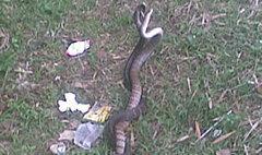 งูสิงห์รัดกัน 7 วันไม่ปล่อย เชื่อเป็นพญานาค