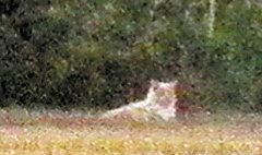 ฮา! เห็นแมวเป็นสิงโต แตกตื่นทั้งเมือง