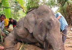 ช้างไล่กระทืบควาญ หัวใจวายตายอนาถ
