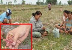ฮือฮา! หญ้าหยาดน้ำค้าง รักษาได้สารพัดโรค