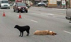 ซึ้ง! สุนัขเฝ้าเพื่อนถูกรถชนตายกลางถนน