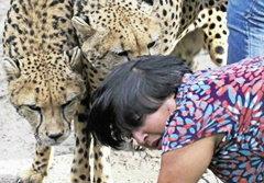 นาทีสยอง! เสือชีตาห์ตะปบหญิง 60 คากรง