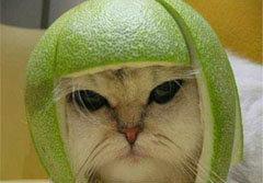 กำลังฮิต! เทรนด์ใหม่ สวมหมวกผลไม้ให้แมว