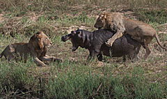 นาทีระทึก! สิงโตรุมล่าฮิปโปสู้สุดใจขาดดิ้น