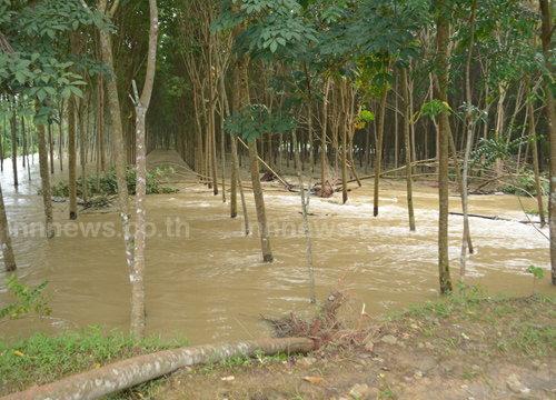 พัทลุงน้ำป่าเซาะประดู่อายุหลายร้อยปีล้มขวางคลอง