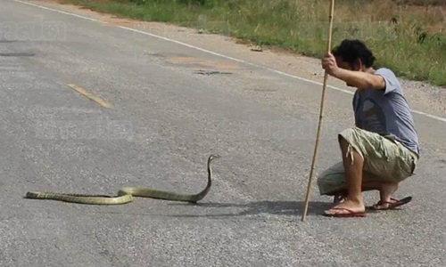 พ่อมดงูโชว์มือเปล่า จับงูจงอางยักษ์ สิ้นฤทธิ์แบบง่ายๆ
