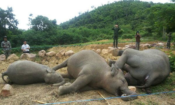 พบช้างป่าละอูแก่งกระจาน ตาย 3 ตัว