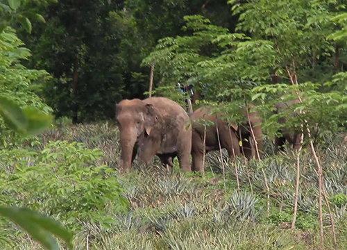 เร่งหาทางแก้ช้างป่าบุกสวนชาวจันทบุรีวันที่9