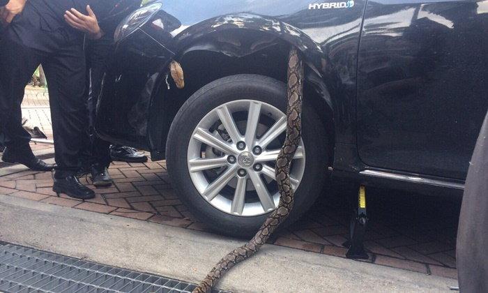 งูเหลือมใหญ่เลื้อยเข้าเก๋ง ที่ปรึกษา สบ10 ผู้คนเล็งป้ายทะเบียน
