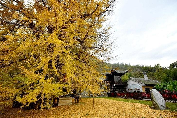ต้นแปะก๊วย อายุกว่า 1,000 ปี