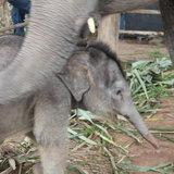 ช้างตกลูกพร้อมกัน