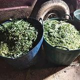 เฒ่าวัย 55 พลาดท่า บดหญ้าทำอาหารให้วัว มือติดเครื่องบด เจ็บสาหัส