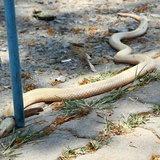 งูเห่าเผือก