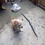 หมาต่อสู้งู