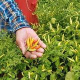โคราช-ฝนทิ้งช่วง ทำเมล้ดพริกเหี่ยวลีบ ผลผลิตน้อย รายได้หด