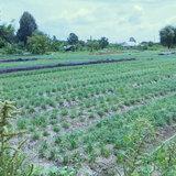 620822ขอนแก่น กุยช่ายขาวแพงหลังแล้งกระทบเกษตรกรลดพื้นที่ปลูก