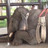 """ล้มแล้ว """"ช้างพลายเอกชัย"""" งาเดียวเพศผู้-ป่วยหนักสุดยื้อจากระบบทางเดินอาหาร"""