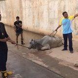 เร่งช่วยวัวตกท่อลอดรางรถไฟ-สภาพขาหักปางตายหลังพลัดหลงฝูง