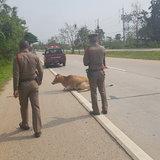 ตีนผีควบกระบะซิ่งชนวัวขาหักน่าเวทนา-ตำรวจรับเลี้ยงดูพร้อมประกาศหาเจ้าของ
