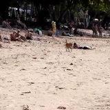 """ชาวบ้านแจ้งจับหมา! หลังมีกลุ่มสุนัขจรจัดบุก """"หาดอ่าวนาง"""" กัด นทท.จีนบาดเจ็บ"""