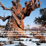 1. Methuselah Tree