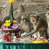 เทศกาลบุฟเฟต์สำหรับลิงกว่า600 ตัว
