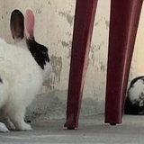 กระต่ายที่บินลาดิน ให้เด็ก