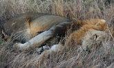 พบศพนายพรานถูกสิงโตเขมือบเหลือแต่ศีรษะ ที่อุทยานแห่งชาติครูเกอร์
