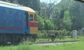 กรี๊ดลั่นลุ้นระทึก รถไฟม้าเหล็กปะทะม้าตัวเป็นๆ ไม่ยอมหลีกทาง