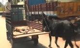 รักยิ่งใหญ่ แม่วัววิ่งตามลูกที่บาดเจ็บบนรถเข็น ยืนเฝ้าหน้ารพ.ไม่ห่าง 2 วันเต็ม