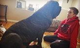 ชาวโลกต้องทึ่ง ลูกหมาตัวใหญ่ที่สุดในโลก วัย 9 เดือนสูงเกือบเท่าเจ้าของ