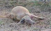 ปศุสัตว์ไม่ยืนยัน ควายคลั่งไล่ขวิดเจ้าของ ติดโรคพิษสุนัขบ้า