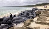 วาฬ 150 ตัวตายเป็นปริศนา เกยตื้นริมหาดออสเตรเลีย