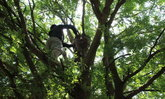 เกือบเนียน หนุ่มใหญ่ทำหัวใส ปลูกต้นกัญชาไว้บนต้นมะขาม