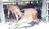 """""""พิษสุนัขบ้า"""" ระบาดหนัก วัวตายเพิ่มอีกหนึ่ง ชาวบ้านวอนเจ้าหน้าที่เร่งฉีดวัคซีนสุนัขด่วน"""