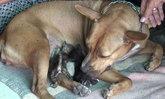 รักต่างสายพันธุ์ สุนัขพิทบูลให้นมลูกแมว 3 ตัว เลี้ยงดูเหมือนลูกตัวเอง