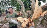 ช้างป่าอาละวาด! ฝากรอยเท้า-ทำลายพืชผลของเกษตรกรพินาศนับ 100 ต้น