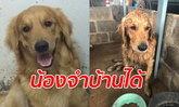 สุนัขโกลเด้นรีทรีฟเวอร์หายไป 11 วัน สุดท้ายเดินกลับบ้านมาเอง