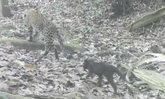 เปิดภาพหาดูยาก ครอบครัวลูกเสือดาว-เสือดำ วิ่งเล่นป่าแก่งกระจาน (มีคลิป)