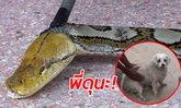 งูเหลือมยาว 5 เมตร เลื้อยซุกศาลเจ้าอากง เจ้าถิ่นเห่าไล่หวิดตกเป็นเหยื่อ