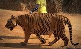 สังคมสะเทือนใจ เสือโคร่งของกลาง วัดป่าหลวงตาบัว ป่วยล้มตายกว่า 80 ตัว