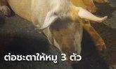 สาวใหญ่ควักเงินหมื่น ไถ่ชีวิต 3 หมูโดดรถหนีตาย ระหว่างทางไปโรงฆ่าสัตว์