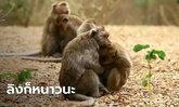 ฝูงลิงแสมวัดดังนครสวรรค์ แห่กอดกันกลม นอนผึ่งแดดคลายความหนาว