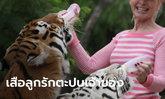 นักอนุรักษ์หญิงโดนเสือจู่โจมเจ็บสาหัส ทั้งที่เลี้ยงดูแลไม่ต่างกับลูกรัก