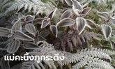 ภูกระดึงหนาวจัด แม่คะนิ้งขาวโพลนวันที่ 2 หลังอุณหภูมิวูบ นักท่องเที่ยวสุดปลื้ม!