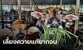 """รมช.เกษตรฯ เตรียมชู """"ควายไทย"""" แก้ความยากจน"""
